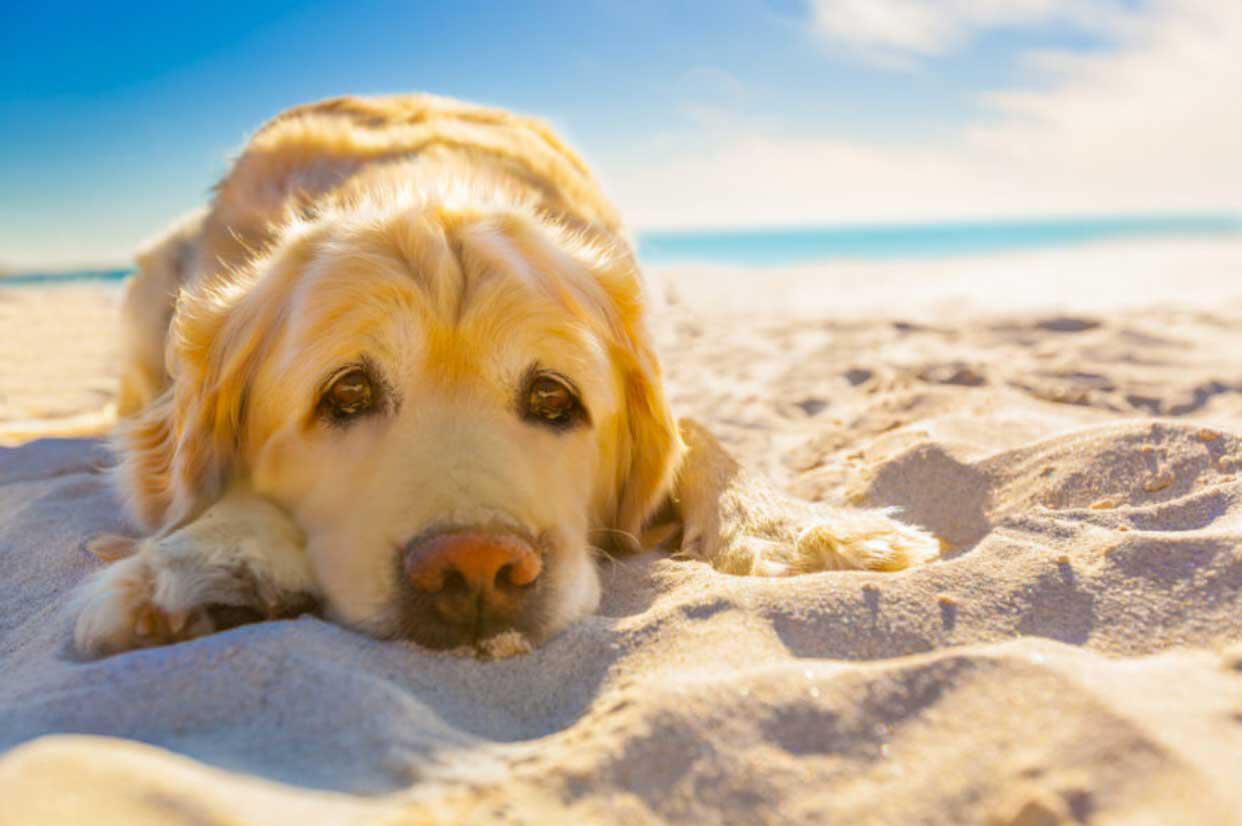 I cani soffrono il caldo? Come faccio a capirlo?