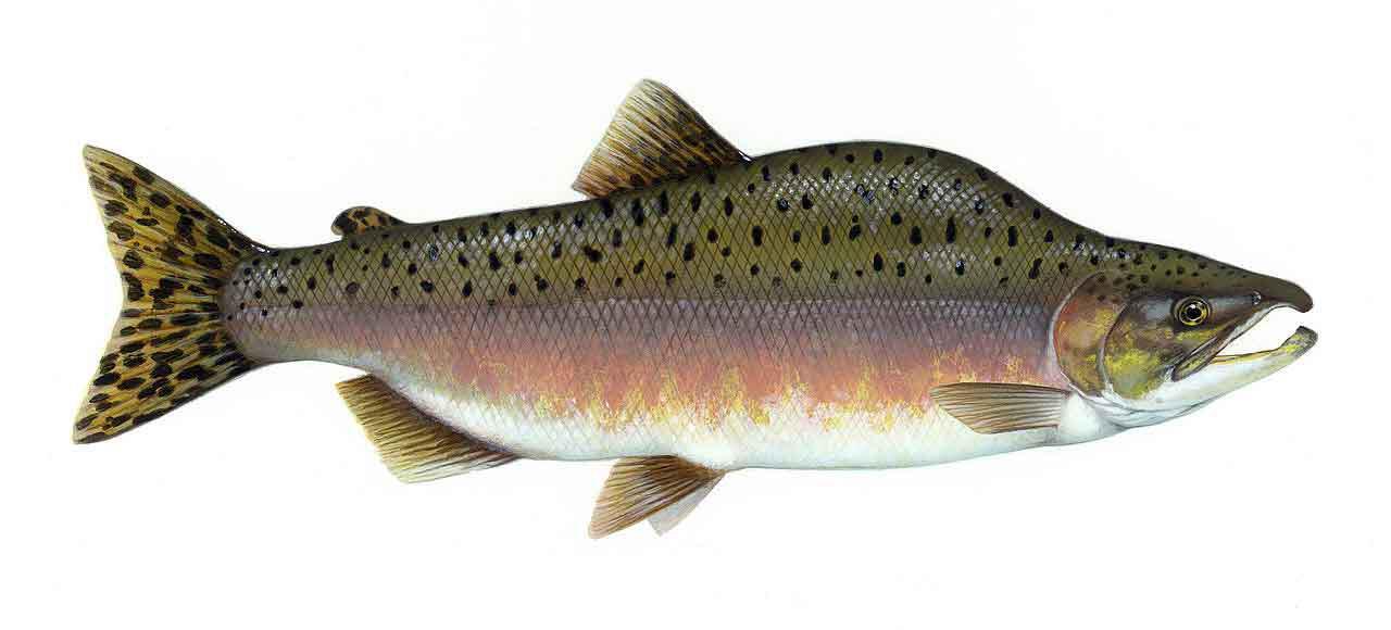 il salmone: quello che bisogna sapere